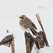 HORNED LARK (nsxbirder) Tags: hornedlark unioncounty indiana unitedstatesofamerica us