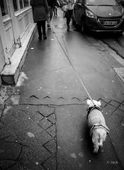 le chien chien (Jack_from_Paris) Tags: p1000630bw panasonic dmcgx8 pancake14mmf25asph pancake wide angle micro 43 raw mode dng lightroom capture nx2 rangefinder télémétrique bw noiretblanc monochrom street paris passants piétons chien dog longue laisse 75013 rue