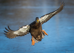 American Black Duck (Melissa M McCarthy) Tags: americanblackduck black duck bird animal nature outdoor wildlife wild waterfowl waterbird male drake inflight bif flying action motion fast incoming blue brown orange stjohns newfoundland canada canon7dmarkii canon100400isii