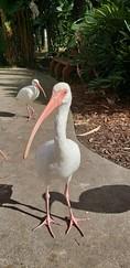 Ibis at Flamingo Gardens