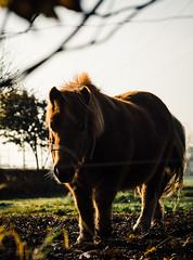 Horse (v2) (Poul-Werner) Tags: portra800 danmark denmark struer vejrum autumn autumncolours efterår efterårsfarver horse shadow skygge centraldenmarkregion nature