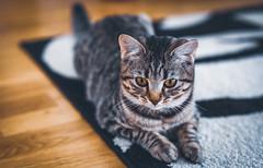Nala .. Relax (Julie Greg) Tags: animal cat colours details portrait eyes pet