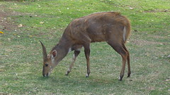 Bushbuck at the Front Door (Rckr88) Tags: bushbuck front door bushbuckatthefrontdoor antkrugernationalpark southafrica kruger national park south africa antelope animals animal lowersabie sabie nature naturalworld outdoors wilderness wildlife