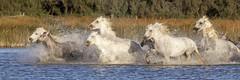 Camargue horses (Xtian du Gard) Tags: xtiandugard animaux sauvages wild nature horses chevaux camargue water etang cavalcade ruée mouvement provence france 3x1