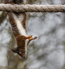 Red squirrel on a rope (Cactipal) Tags: red squirrel circus hanging rope upside down