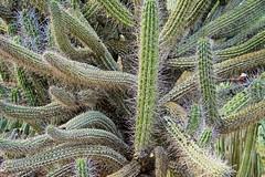 ARIZONA CACTI (sswj) Tags: desert arizona tucson cacti cactus thorns desertplants plants scottjohnson fullframe dslr availablelight existinglight naturallight composition nikon d600 nikkor28300mm northamericandesert abstractreality abstraction abstract desertlight
