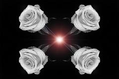 still-life 19-02-2019 008 (swissnature3) Tags: stilllife macro flowers light rose photoshop