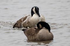 7K8A1147 (rpealit) Tags: scenery wildlife nature edwin b forsythe national refuge brigantine canada geese bathing goose bird