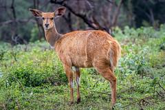 Bushbuck... (Manon van der Lit) Tags: africa afrika uganda oeganda lakemburonationalpark lakemburo gamedrive safari wildlife bushbuck bosbok gazelle animal mammal shy