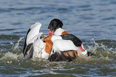 Shelduck (females) Jan 2019 (c) (In Explore) (jgsnow) Tags: yellow bird waterbird duck shelduck female fighting