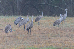 54/365 Touch Down! (Maggggie) Tags: 365 birds sandhillcranes landed grass gray red