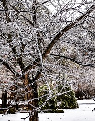 White redbud tree . . . (Dr. Farnsworth) Tags: tree ice redbud white yard storm slippery roads sidewalk westlake mi michigan winter february2019
