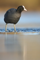 Coot (Mike Mckenzie8) Tags: fulica atra wild bird ice winter