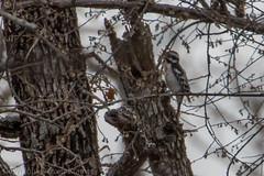 20190209-_E1A3220 (Denver Kramer) Tags: animals canon100400mmll canon7dll denverkramerphotography downywoodpecker isleduboisunit pilotpoint rayrobertsstatepark texas birds wildlife