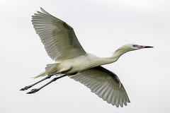 White Morph Reddish Egret Inflight (dbadair) Tags: outdoor bif flight morph reddish nature wildlife 7dm2 ef100400mm canon florida bird rookery mangroves