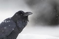 Snow Fall (Khurram Khan...) Tags: wildlife wildlifephotography wild wwwkhurramkhanphotocom winter snow snowfall khurramkhan ilovenature iamnikon nikonnofilter birdphotography