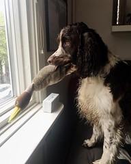 Inte bästa kortet kanske men han är så söt när han tittar ut tillsammans med sin and :) (kaksfotokonto) Tags: hund dog spaniel engelskspringerspaniel springerspaniel