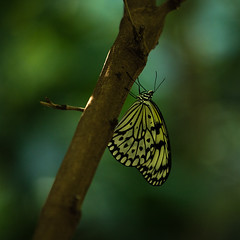 Paper Kite (Naren's Captures) Tags: butterfly paperkite canon lightroom
