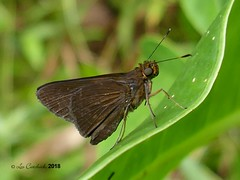 pos Euphyes ampa (LPJC) Tags: panama 2018 lpjc butterfly euphyesampa skipper