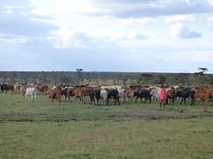 Maasai herding cattle (Animal People Forum) Tags: kenya africa masaimara maasaimara savanna people human maasai cattle cows herd herding