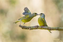 Verdier d'Europe (Tifaeris) Tags: ariège carduelischloris domainedesoiseaux europeangreenfinch fringillidés mazères passériformes verdierdeurope bird oiseau