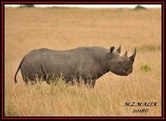 BLACK RHINOCEROS (Diceros bicornis).....MASAI MARA.....SEPT 2018. (M Z Malik) Tags: nikon d3x 200400mm14afs kenya africa safari wildlife masaimara keekoroklodge exoticafricanwildlife rhino ngc npc