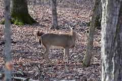 Deer-Whitetail_0682e (Porch Dog) Tags: 2019 garywhittington kentucky nikond750 nikkor200500mm february winter lbl landbetweenthelakes betweentherivers nature wildlife outdoors
