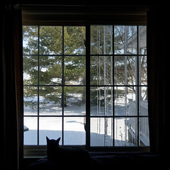 We Has Icicles! (joeldinda) Tags: canon powershotg9xii g9x 2019 home mulliken potter winter weather snow interior livingroom window yard cat kitty gato chat bernie tree 4470 february 50365