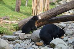 Malayan Sun Bear (Helarctos malayanus) (Seventh Heaven Photography) Tags: malayan sun bear helarctosmalayanus helarctos malayanus cub baby mother mum kyra milli animal mammal chester zoo cheshire england nikond3200