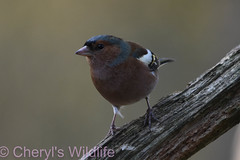 Male Chaffinch (Cheryl's Wildlife) Tags: wildlife nature suffolk rspb birds 2019 birdwatching nikon sigma photography east eastanglia naturereserve wildlifetrust riverlark weststow