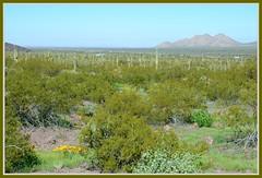 (|) Sonoran Desert Flora Panorama - II. (|) (Wolverine09J ~ 1.8 Million Views) Tags: picachostatepark sonorandesert landscape cacti flora panoramic latewinter southernarizona rainbowofnaturelevel1red thegalaxy rainbowofnaturelevel2orange