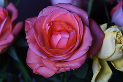 DSC_2780 (PeaTJay) Tags: nikond750 sigma reading lowerearley berkshire macro micro closeups gardens indoors nature flora fauna plants flowers rose roses rosebuds