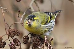 Erlenzeisig im Baum (phototom12) Tags: dählhölzli bern vogel gelb baum zeisig erlenzeisig