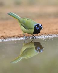 Green jay (tinahay) Tags: riograndevalley birds alamo texas nature santaclararanch