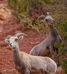 """ The Guardian"" (Photographer / Artist) Tags: ani desertbighornsheep coloradonationalmonument colorado nature wildlife passion lovemylife"