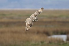 0M2A6175 Short-eared Owl (kevin_livesey) Tags: