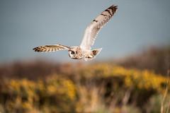 D85_7160 (WildKernow) Tags: see shortearedowl cornwall newquay uk owl
