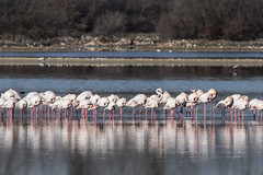 DSC_9946 (Jesus DTT) Tags: flamencocomún flamencos phoenicopterusroseus lainesperada pozuelodecalatrava lagunadelprado aves agua reflejo