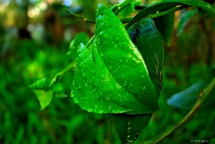 Rainy Day Leaf (surfcaster9) Tags: green leaf closeup nature outdoors lumixg7 panasonic woods