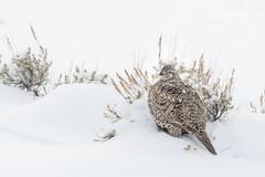 Sage Grouse in the Snow (Amy Hudechek Photography) Tags: sage grouse bird wildlife nature grand teton national park gtnp amyhudechek nikond500 winter january snow