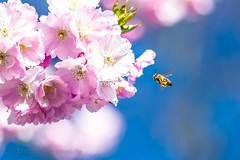 Spring (blende9komma6) Tags: spring nikon d7100 hannover germany downtown bee biene frühling sonne sun himmelblau cherry blossom kirschblüte japan skyblue blau summer sommer rosa pink