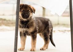 2019-03-02, Mel x Dezi Red Female-1 (Falon167) Tags: gsd germanshepherddog german shepherd dog puppy mel dezi melxdezi litter bessie puppies