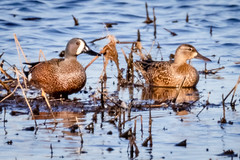 Blue-winged Teal pair (tresed47) Tags: 2019 201903mar 20190326delawarebirds birds bluewingedteal bombayhook canon7dmkii content delaware ducks folder march peterscamera petersphotos places season takenby teal us winter