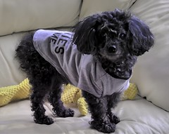 Cody modeling his new t-shirt❤️. (Ellen Brown Cozy Lakeside Hideaway) Tags: miniature poodle toypoodle black animal dogportrait