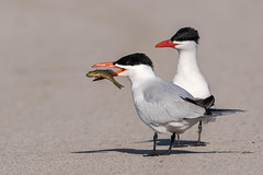 Dinner Time (scott5024) Tags: caspian terns wildlife fish eating feeding