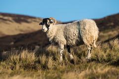 Rather sheepish (Maria-H) Tags: sheep hills glossop derbyshire highpeak pennines uk olympus omdem1markii panasonic 100400