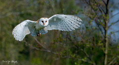 KerkUil5 (Borreltje.com) Tags: topvogel birdofprey roofvogel roofvogels vogel bird birds wildlife prey workshop fotoshoot birdsinflight
