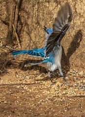 _DSC0287 (johnjmurphyiii) Tags: 06416 birds connecticut cromwell originalnef shelly tamron18400 usa wildlife winter yard johnjmurphyiii