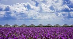 Greenhouses (rob kraay) Tags: liatrisspicata greenhouse horizon robkraay cumulusclouds reed purpleflower