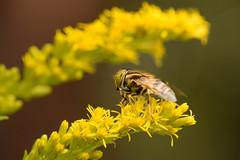 DSC_6705 (Hachimaki123) Tags: 所沢航空記念公園 tokorozawaaviationmemorialpark 日本 japan 所沢市 埼玉県 所沢 tokorozawa saitama animal insect insecto 虫 動物